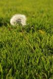 Одуванчик в траве Стоковое Фото