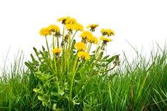 Одуванчик в траве Стоковые Изображения