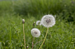 Одуванчик в луге зеленой травы Стоковые Фото