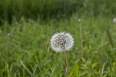 Одуванчик в луге зеленой травы Стоковое Фото