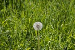 Одуванчик в луге зеленой травы Стоковая Фотография RF