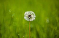 Одуванчик в луге на предпосылке зеленой травы Стоковые Изображения RF