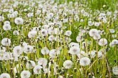 Одуванчик группы пышный цветет весной Стоковое Изображение RF