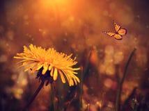 Одуванчик и бабочка в поле на заходе солнца Стоковые Фото