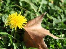 Одуванчик и осень листают на зеленой траве. Стоковое Изображение RF