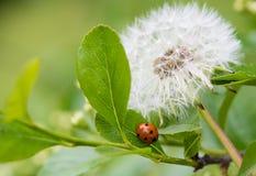 Одуванчик и Ladybug Стоковые Изображения RF