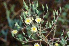 Одуванчик карлика - biflora Krigia Стоковые Фотографии RF