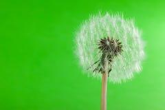 Одуванчик на зеленом цвете Стоковое Фото