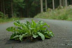 Одуванчик на дороге Усилие природы Стоковая Фотография