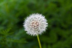 Одуванчик на предпосылке зеленой травы стоковые фото