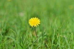 Одуванчик на траве стоковые фото