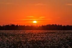 Одуванчик на луге на заходе солнца Стоковые Фотографии RF