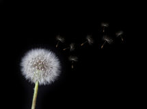 одуванчик освобождая ветер семян Стоковая Фотография RF