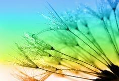 одуванчик росный Стоковые Фотографии RF