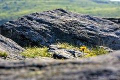 Одуванчик среди валунов на стороне холма Стоковые Изображения