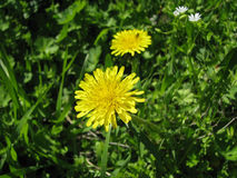 Одуванчик среди травы стоковые фото