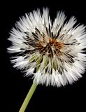 Одуванчик с семенами Стоковое фото RF