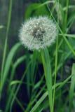 Одуванчик цветка на зеленой траве Стоковое фото RF