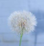 Одуванчик, цветок весны Стоковое Изображение