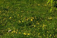 Одуванчик Цветок Поле стоковая фотография rf