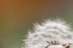 Одуванчик - officinale taraxacum, макрос Стоковое фото RF