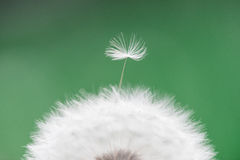 Одуванчик - officinale taraxacum, макрос Стоковое Изображение RF