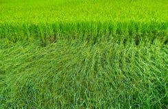 Одушевленный рис Стоковые Изображения RF