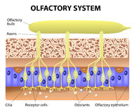 Ольфакторная система Стоковое Изображение
