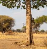 Павианы взбираясь в дереве Стоковые Изображения RF
