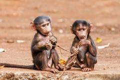 Павианы младенца в Танзании стоковая фотография rf