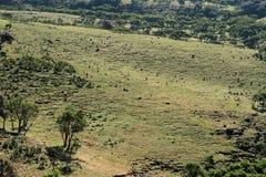 Павианы Gelada в горах Simien Эфиопии Стоковое фото RF
