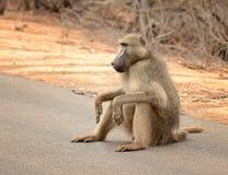 Павиан в национальном парке Kruger в Южной Африке Стоковое Изображение