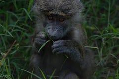 Павиан младенца саванны Стоковая Фотография RF