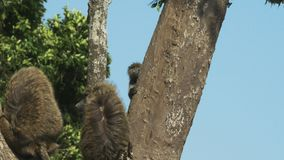 Павиан младенца скачет к стволу дерева в masai mara видеоматериал
