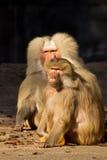 павиан смотря обезьяну серьезную Стоковая Фотография RF