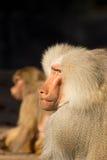 павиан смотря обезьяну Стоковое Фото