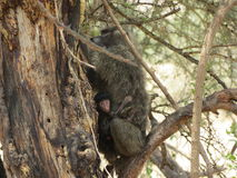 Павиан с младенцем в дереве в Африке Стоковое Изображение RF
