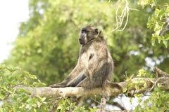 Павиан Chacma в сердце саванны, национального парка Kruger, ЮЖНОЙ АФРИКИ Стоковая Фотография