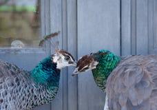 2 павлина говоря одину другого секрет в их ушах стоковые изображения rf