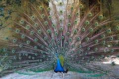 Павлины дендропарка ЛА стоковое фото