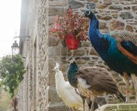3 павлины и peahens стоя на каменной загородке совместно стоковое фото