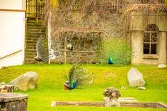 Павлины на территории средневекового замка Blatna весной приурочивают, чехия стоковое фото rf