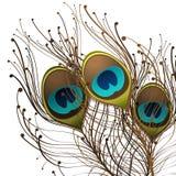 павлины пера Стоковые Изображения RF