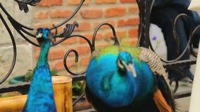 Павлины показывая красивые пер близко вверх, birdwatching на выставке зоопарка видеоматериал