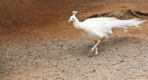 павлин альбиноса Стоковые Фото