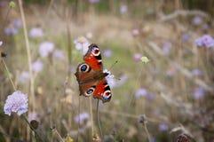 Павлин бабочки на цветке в осени Стоковые Изображения