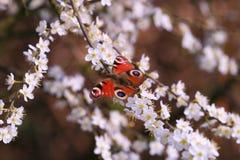 павлин бабочки Стоковое фото RF