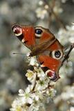 павлин бабочки Стоковые Фотографии RF