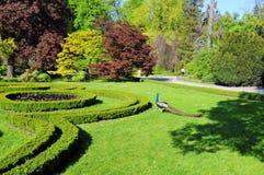 Павлин в саде стоковое изображение rf