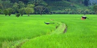 Павлин в хранят рисе, который стоковое изображение rf